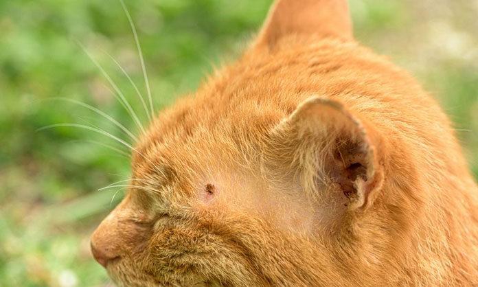 W jaki sposób usunąć kleszcza u kota